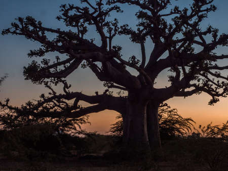 Silhouette of baobab tree at sunset. Tree of happiness, Senegal. africa Zdjęcie Seryjne