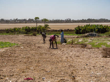 Senegal, Africa - February 2019: African men work in the field and collect turnip harvest. In the bacground view of Lac Rose (meaning Pink Lake). Lake Retba with the red water Éditoriale
