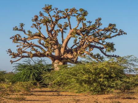 Huge baobab tree at sunset. Tree of happiness, Senegal. africa Stok Fotoğraf