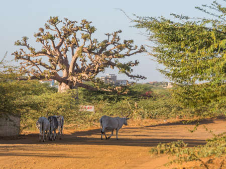 Huge baobab treeand the white cos on the red road. Tree of happiness, Senegal. africa Banque d'images