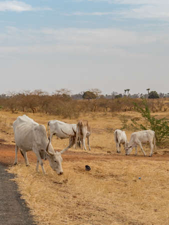 A herd of white blood passes through the street in Senegal, Africa Stock fotó