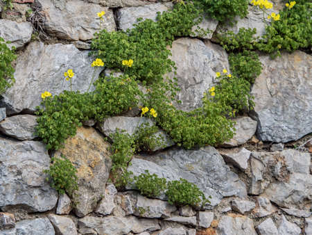 Background. Texture. The fence is made of stones of different sizes, covered with green plants