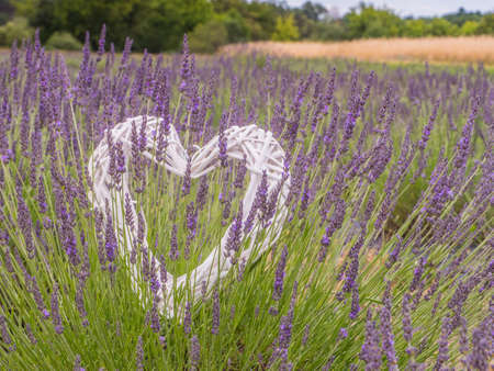 White heart, soap bubbles and blooming fields of young lavender in Poland. Let's hurry to love people. They leave so quickly. Sant Valentine's Day.