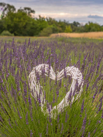 White heart, soap bubbles and blooming fields of young lavender in Poland. Let's hurry to love people. They leave so quickly. Sant Valentine's Day. Stok Fotoğraf - 162221211