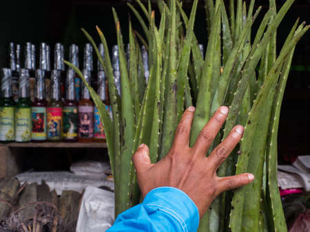 Big aloe and hand (to show the size) on the background of different types of fragrance oils at the market in Belen (Belén market) Amazonia, Peru, South America.