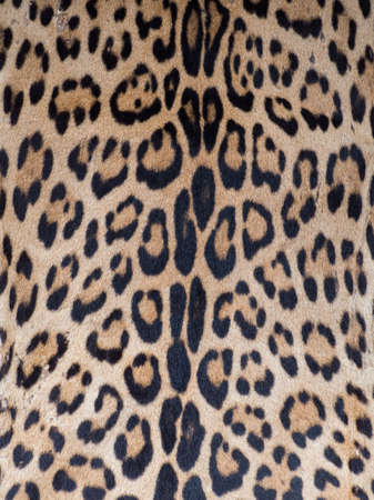 Pattern, texture, background. Jaguar skin at Belen bazaar (Belén market), Iquitos city on the banks of the Amazon, gate to the rainforest, Amazonia, Loreto, Peru, South America