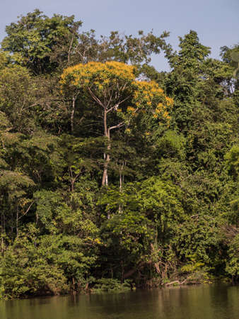 Wall of green tropical forest and tree with yellow flowers on the edge of the lagoon in the Amazon jungle, green hell of the Amazon. Selva on the border of Brazil and Peru. South America. 免版税图像