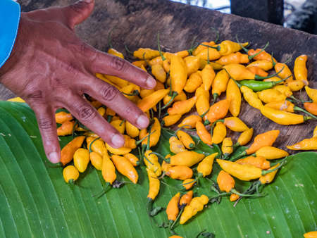 Small hot yellow peppers and hand (to show the size of the fruit) at the Belen bazaar (Belén market), Iquitos city on the banks of the Amazon, gate to the rainforest, Amazonia, Loreto, Peru, South America