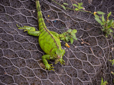 A large, green lizard on a grid, on the bank of a river in the Amazon jungle. Amazonia Latin America. The rainforest. Iquitos, Peru, South America.