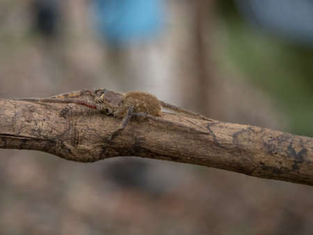 The Amazon spider is hiding on a stick in the Amazon rainforest