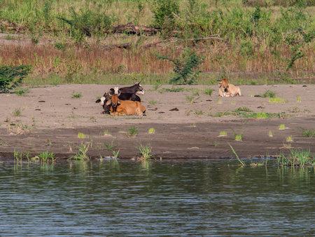 Cows graze on the banks of the Amazon River, Peru, Amazonia, South America Stok Fotoğraf