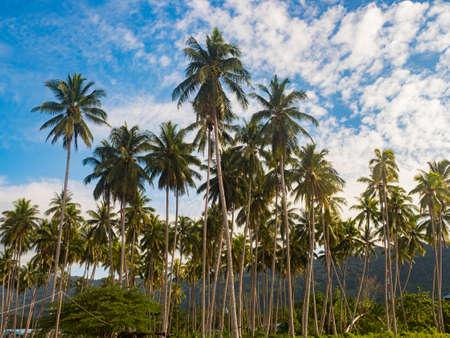 Palm trees in the rainforest of Indonesia, Kaimana, Bird's Head Peninsula, West Papua, Indonesia