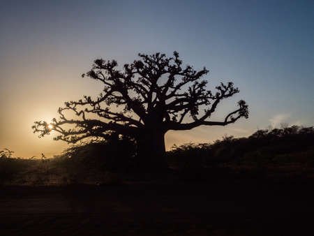 Silhouette of baobab tree at sunset. Tree of happiness, Senegal. Africa