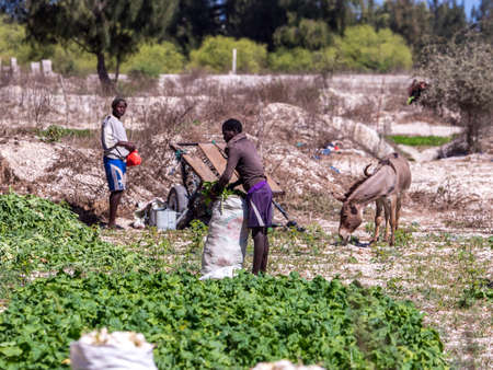 Senegal, Africa- January 26, 2019: Man are working on the field and using donkey cart, It is a popular transportation way in Africa