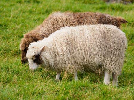 Faroe sheep on the island Kalsoy - Faroe Islands. It is an autonomous territory within the Kingdom of Denmark. Europe. 免版税图像