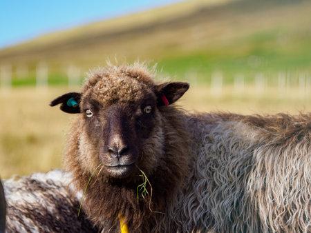 Faroe sheep on on Faroe Islands. It is an autonomous territory within the Kingdom of Denmark. Europe. 免版税图像