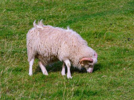 Faroe sheep on on Faroe Islands. It is an autonomous territory within the Kingdom of Denmark. Europe. Stok Fotoğraf - 167296074