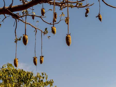 Baobab fruit on the baobab tree. Tree of happiness, Senegal. Africa.