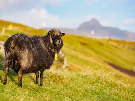 Faroe sheep on on Faroe Islands. It is an autonomous territory within the Kingdom of Denmark. Europe. Stok Fotoğraf