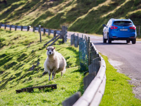 The sheep stands by the scenic road in the Faroe Islands. Denmark, Northern Europe. Stok Fotoğraf