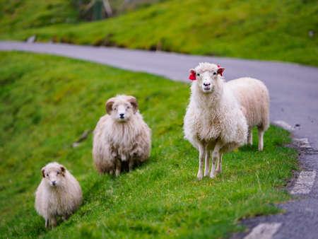 Faroe sheep on on Faroe Islands. It is an autonomous territory within the Kingdom of Denmark. Europe. Stok Fotoğraf - 167055251