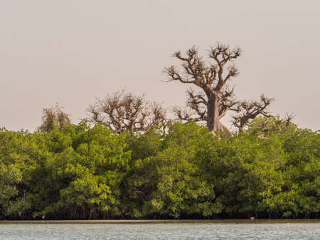 Mangroves - salt-tolerant trees, also called halophytes, and are adapted to life in harsh coastal conditions.
