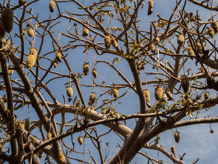 Baobab fruit on the baobab tree. Tree of happiness, Senegal. Africa. Stok Fotoğraf - 167055283