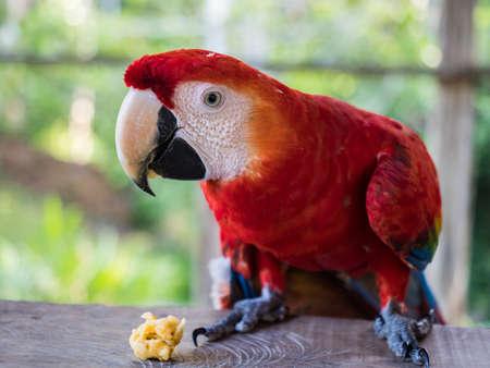 Scarlet Macaws, Ara macao in tropical rain forest, Peru. Foto de archivo