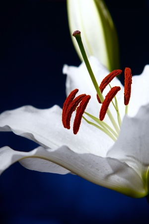 white lilly on blue gradient background photo