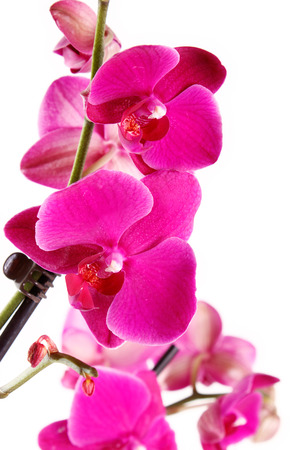 blossoming red orchid branch on white background photo