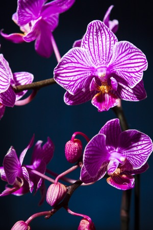 blossoming orchid on blue background photo