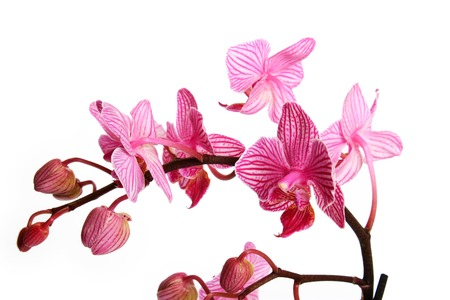 blossoming orchid on white background photo