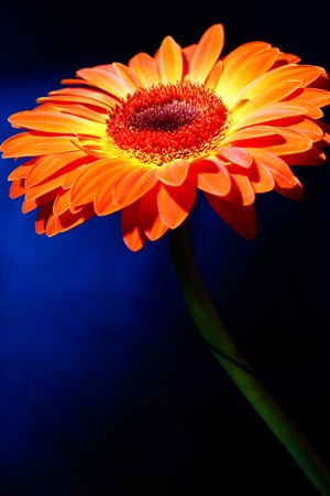 orange daisy on dark gradient blue background. carving.  photo