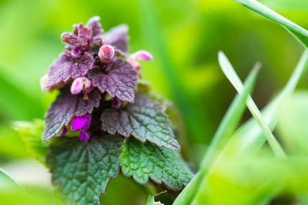 blossoming: macro of blossoming nettle