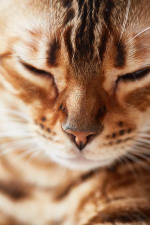 bengal cat close Stock Photo