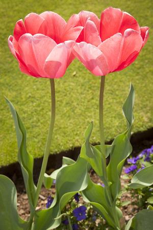 androecium: The tulip  Stock Photo