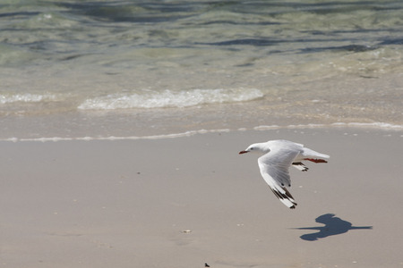 distantly: Gulls or seagulls are seabirds of the family Laridae in the sub-order Lari. They are most closely related to the terns and only distantly related to auks, skimmers, and more distantly to the waders. Stock Photo