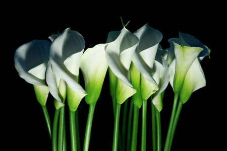arum: Arum lilies (Zantedeschia aethiopica) a.k.a. calla flowers Stock Photo