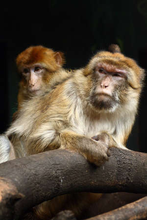 Two barbary apes photo