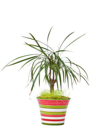 Dracaena marginata plant in colourful striped pot isolated on white photo