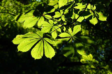 Light shining through Horse Chestnut leaves Stock Photo - 10790230