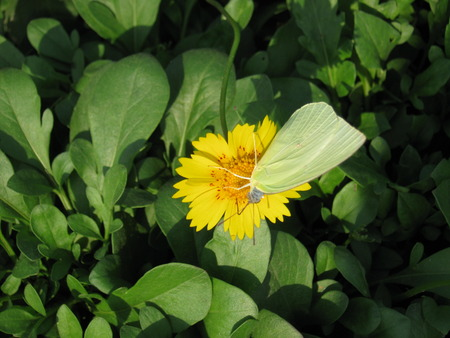 unedited: A small yellow butterfly on the yellow flower...