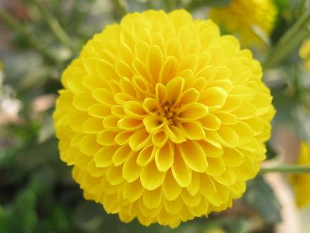 unedited: Yellow Chandramallika flower