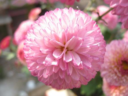 unedited: Violet white Chandramallika flower