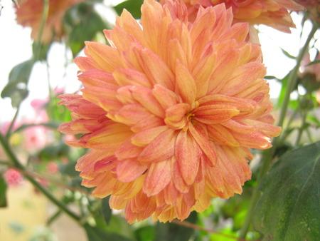 unedited: Maroonish Red Chandramallika flower