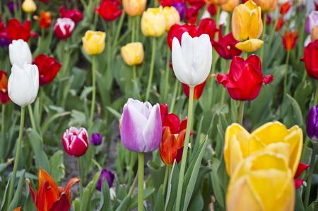 multicolored: Multicolored Tulips Stock Photo