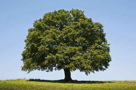 single tree: Oak Tree