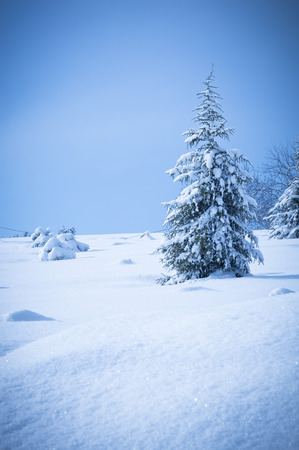 pin arbre: Pine Tree in Winter Snow