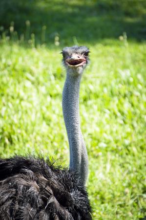 dromaius novaehollandiae: Emu.