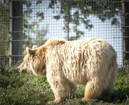 grizzle: Grizzle Bear.